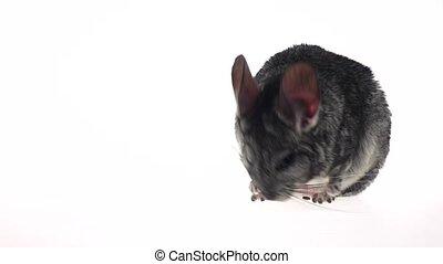 Gray chinchilla defecates on white studio background in slow motion