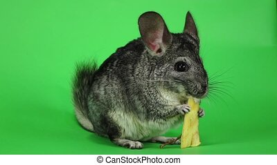 Gray chinchilla eating piece of apple sitting in slow motion...