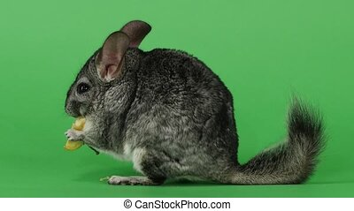 Gray chinchilla eating piece of apple sitting sideways to...