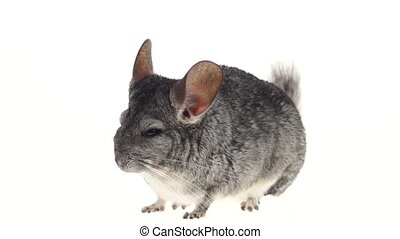 Gray chinchilla, home favorite, tiredly closes eyes on white background