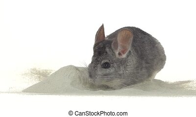 Gray chinchilla is bathed in zeolite sand for cleansing fur