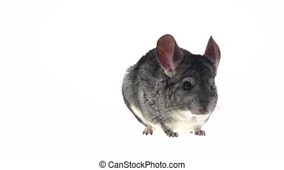 Gray chinchilla listened warily and ran away in slow motion...