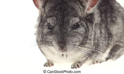 Gray chinchilla looks around carefully and sniffs something in closeup