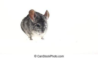Gray chinchilla looks around carefully and sniffs something. White background