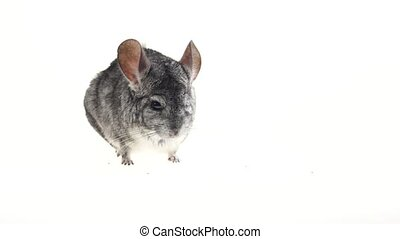 Gray chinchilla looks around carefully and sniffs something....