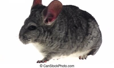 Gray chinchilla ran away on white background in slow motion...