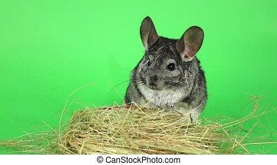Gray chinchilla sitting in haystack on green background....