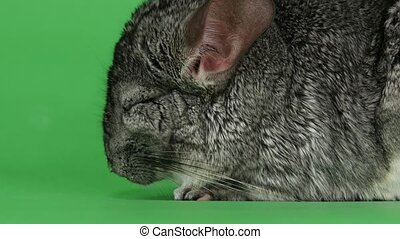 Gray chinchilla sleeps with closed eyes on green screen...