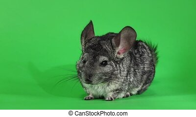 Gray chinchilla washed and licked muzzle, slow motion. Green...