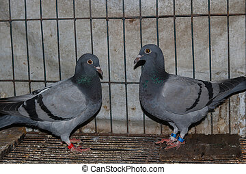 gray color dove in a cage