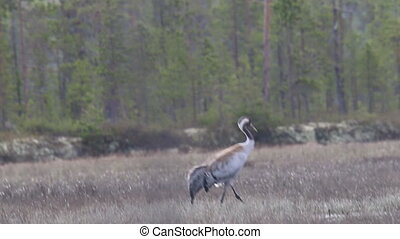 Gray crane walks in the swamp