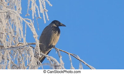 Gray crow on birch branches covered with hoarfrost against blue sky