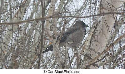 Gray crow sitting on a birch tree on a cloudy day and cleans...