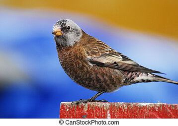 Gray-crowned Rosy Finch on a red post with blue and orange background, Alaska