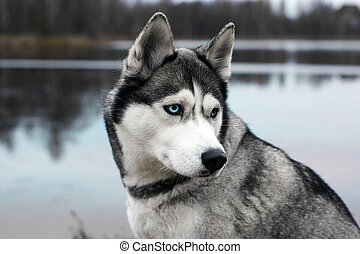 Gray dog breed Husky near half a turn on the background of the autumn lake
