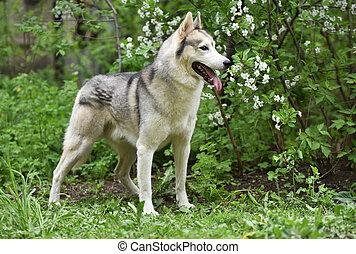 gray dog breed Siberian husky