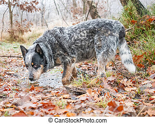 Gray dog drinking from forest pool. Australian Cattle Dog in forest.
