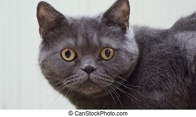 gray domestic cat close up.