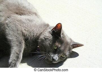 Gray Domestic Short Hair Cat
