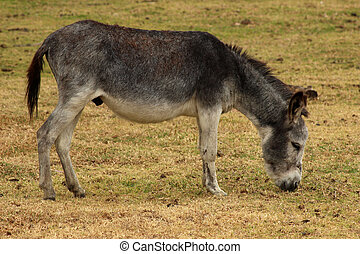 A gray donkey grazing in a farmers meadow in Cotacachi, Ecuador