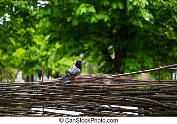 Gray dove sits on a wooden fence in the park.
