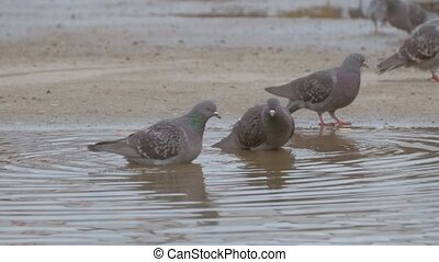 gray doves bathing in a pool of slow motion video