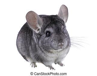 Gray ebonite chinchilla on white background. Isolataed