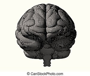 gray engraving brain in front view on white BG