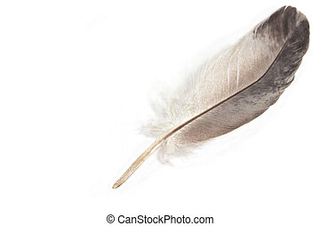 Gray feather isolated on white