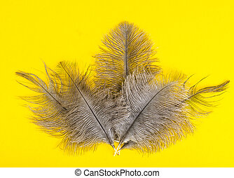 Gray feathers of ostrich