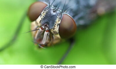 Gray flesh fly - Compound Eye - Gray flesh fly - Sarcophaga...