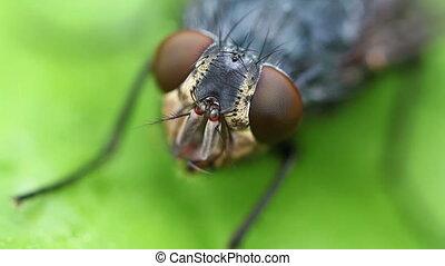 Gray flesh fly - Eye - Gray flesh fly - Sarcophaga carnaria...