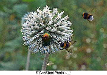 Gray flowers Echinops sphaerocephalus.