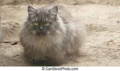 gray fluffy cat sitting on the ground outdoor pet - gray...