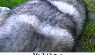 Gray fluffy husky combed with a brush for wool.