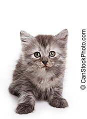 Gray fluffy kitten looking at the camera (isolated on white)