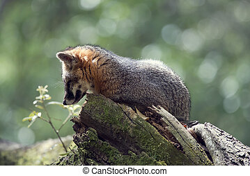 Gray Fox on a tree
