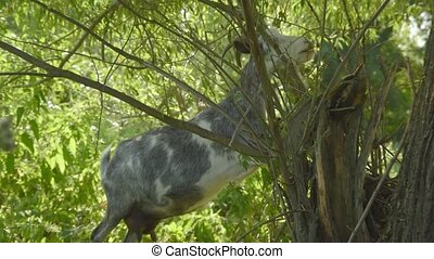 Livestock eats leaves from a tree. Goat grazes in a forest area in spring.