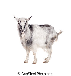 Gray goat on white - Funny gray goat isolated on white...