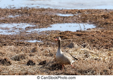 Gray Goose in the nature reserve