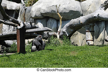 Gray Gorilla in a Zoo Enclosure with Grass and Rocks