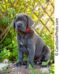Gray Great Dane dog puppy outdoor