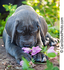 Gray Great Dane dog puppy sniffs a flower outdoor