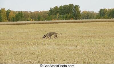 Gray Greyhound runs across the field