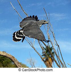 Gray Hawk in flight