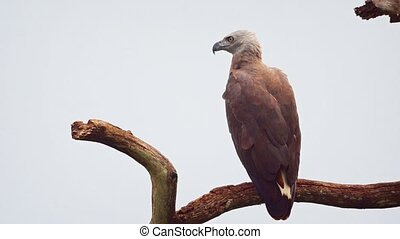 Solitary, gray headed fish eagle in closeup, perched on a dead, high tree branch against a gray sky in Sri Lanka