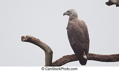 Solitary, gray headed fish eagle in closeup, perched on a dead, high tree branch against a gray sky in Sri Lanka. UltraHD 4k video