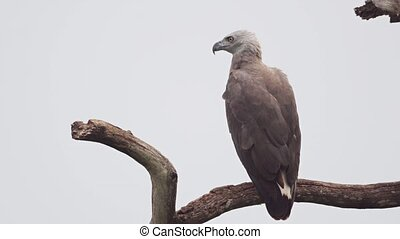 Gray Headed Fish Eagle on Branch in Closeup. - Solitary,...