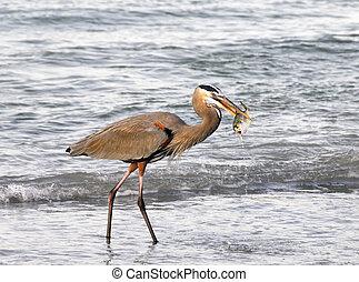Gray Heron and Fish - Gray heron with a fish in it's beak at...
