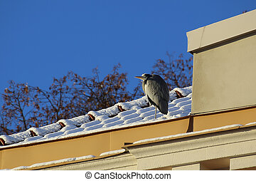 Gray heron (Ardea cinerea) sitting on historic building in ...